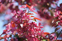 Flowering Crab Apple Tree Royalty Free Stock Images