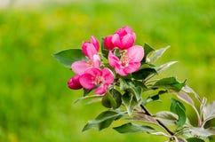 Flowering crabapple blooms Stock Images