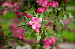 Flowering crabapple blooms Royalty Free Stock Images