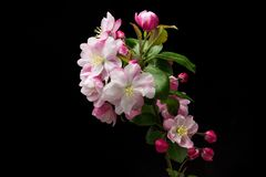 Flowering crabapple. Chinese flowering crabapple on a black background stock photos