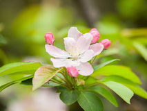 Flowering crabapple, Malus halliana, or Begonia Royalty Free Stock Photos