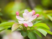 Flowering crabapple, Malus halliana, or Begonia. Flowers Chinese characteristics Royalty Free Stock Photos