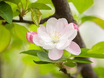 Flowering crabapple, Malus halliana, or Begonia Royalty Free Stock Images