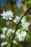 Flowering crabapple tree Stock Photo