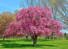 Flowering Crabapple Tree Stock Photos