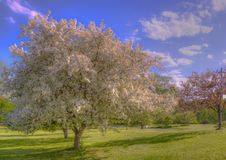 Flowering crabapple tree with soft edit. White blossoming crabapple tree, blue sky Royalty Free Stock Photography
