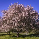 Flowering crabapple tree in the spring. Beautifully full flowering crabapple tree Royalty Free Stock Photography