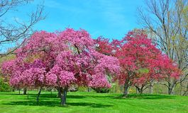 Flowering Crabapple Trees in springtime. Royalty Free Stock Photography