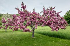 Flowering Crabtree. A flowering crab tree peaking in spring Royalty Free Stock Images