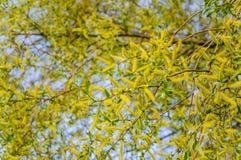 Flowering crack, or brittle willow Salix fragilis Bullata. In spring stock photo