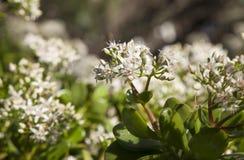 Flowering Crassula ovata, money tree Stock Images