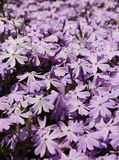 Flowering creeping phlox Royalty Free Stock Photos