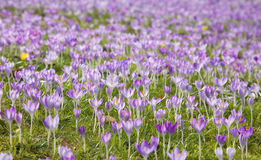 Flowering crocus Stock Photos