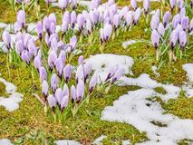 Flowering crocus plants, bunch of crocuses, meadow with snow Stock Photo