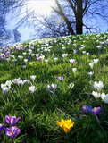 Flowering crocus in spring. Blooming white and violet crocuses on a hill in springtime with yellow flower accent and bright sun Royalty Free Stock Images