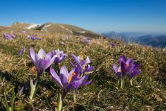 Flowering of crocus vernus in the peak of Monte Nerone, Marche, Italy. Europe royalty free stock photos