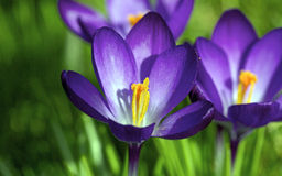 Flowering crocuses Royalty Free Stock Photos