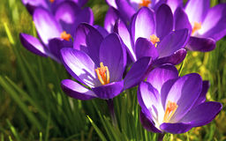 Flowering crocuses Stock Photos