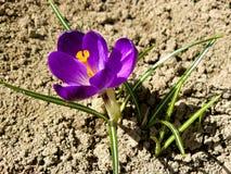 Flowering crocuses Royalty Free Stock Image