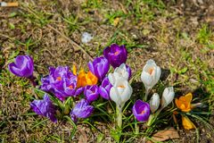 Flowering crocuses on the early spring days. In Hamburg royalty free stock images