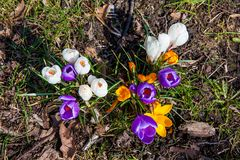 Flowering crocuses on the early spring days. In Hamburg royalty free stock photo