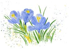 Flowering crocuses. Watercolor illustration. vector illustration