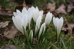 Groupe of flowering crocusses. Flowering crocusses in spring in the grass Royalty Free Stock Images