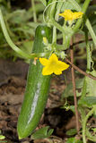 Flowering cucumber. Fresh cucumber growing  on the plant Stock Image