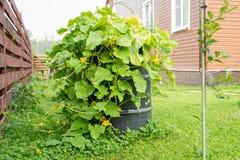 Flowering cucumber shrubs grow in barrel Stock Images