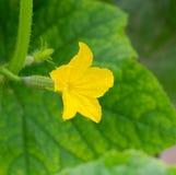 Flowering cucumber Royalty Free Stock Photo