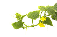 Flowering cucumbers. On white background stock photos