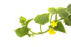 Flowering cucumbers Stock Photos