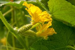 Flowering cucumbers in a greenhouse on a plot of land in Russia royalty free stock image