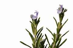 Flowering culinary fragrant herb rosemary Rosmarinus officinalis on white background. Natural sunshine Stock Images