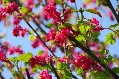 Flowering Currant 06 Stock Photo