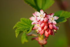 Flowering Currant ,botanic garden ,Lodz, Stock Photography