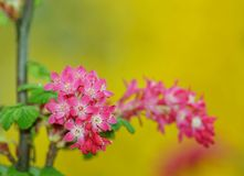 Flowering Currant ,botanic garden ,Lodz, Stock Photo