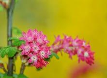 Flowering Currant ,botanic garden ,Lodz, Stock Photo