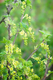 Flowering currant bush Royalty Free Stock Photography