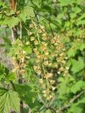 Flowering currant bush Royalty Free Stock Photo