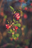Flowering currant Royalty Free Stock Photo