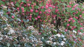 Flowering Currant stock video footage