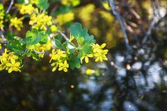 Flowering currant golden. Branch with yellow flowers golden currant, sunlit on a dark background of water in the evening Royalty Free Stock Photos