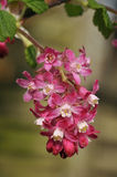 Flowering Currant Royalty Free Stock Photography