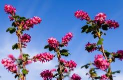 Flowering currant. Ribes sanguineum (flowering currant or red-flowering currant) is a species of flowering plant Stock Image