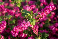 Flowering currant. Ribes sanguineum (flowering currant or red-flowering currant) is a species of flowering plant royalty free stock photography