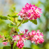 Flowering Currant Royalty Free Stock Images