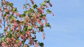 Flowering Currant in spring, Blutjohannisbeere stock video footage