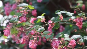 Flowering Currant, spring, Ribes Sanguineum stock video footage
