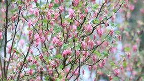 Flowering Currant, spring, Ribes Sanguineum stock video